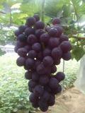 想要精品绍兴一号葡萄苗就来民锋葡萄良种场,昌黎绍兴三号葡萄苗