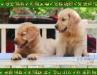 北京人养殖金毛幼犬 免费体检签协议 疫苗齐全可送货