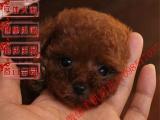 哪里有出售家养纯种一窝深红色泰迪幼崽多少钱一只