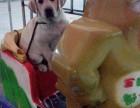 专业繁殖双血统拉布拉多犬,柯基犬