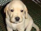 大连出售拉布拉多导盲犬头大较宽,毛色好,品像佳包健康