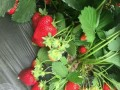 任丘最大奶油草莓采摘基地三浒生态庄园