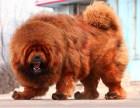 哪里有卖藏獒藏獒多少钱藏獒图片藏獒幼犬