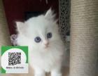 南通哪里卖布偶猫 布偶猫价格 布偶猫哪里有卖