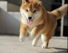 个性机敏 独立 身体强健的幼柴犬 多窝销售