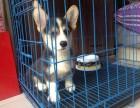 纯种拉柯基犬 包疫苗 犬舍繁殖多种 买狗送用品