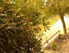 二三十年八月桂花树
