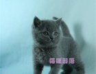 英国短毛猫 英短蓝猫幼猫 蓝猫宠物猫活体 猫舍直