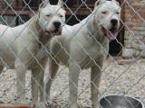 2个月杜高犬出售 速度