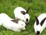 近期全国肉兔獭兔价格专家质询肉兔獭兔养殖前景