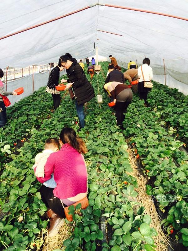 一年一度草莓季节吃郑氏奶油草莓烧烤农家乐活动