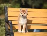 佛山柴犬 佛山日系柴犬犬舍 佛山纯种柴犬的价格