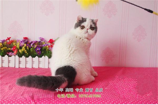 家养纯种加菲猫起另有美短,波斯猫找新家