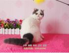 正规猫舍出售胖嘟嘟的加菲猫美短蓝猫等名猫支持上门