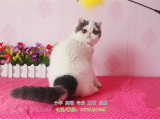 猫舍出售纯种健康加菲猫英国短毛猫美短可上门