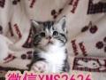 高端宠物猫繁殖基地 售加菲 英短 美短 包纯包健康