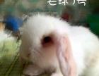 个人家养垂耳兔 超萌满月宠物兔 健康干净毛绒绒 兔子
