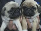养殖基地出售巴哥幼犬 实物实拍 健康保障 签订活体协议