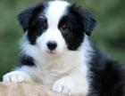 七白的小边境牧羊犬是新生 小边牧快三个月大