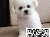 哪里有卖纯种贵宾犬贵宾犬多少钱贵宾多少钱一只贵宾犬哪里出售