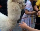五一上海草泥马出租-羊驼租赁-小矮马出租庆典暖场展览