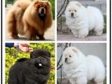 自己家養的雙血統松獅犬犬 顏值高 忍痛出售