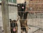 纯种 马犬多只可选 正规犬舍出售 签订协议