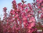 八棱海棠树价格 八棱海棠小苗价格