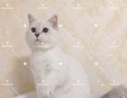 注册猫舍繁育级别银点种公出售,非诚勿扰