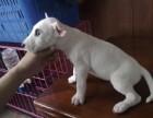 浦东哪里有牛头梗犬卖 浦东牛头梗犬价格 浦东牛头梗犬多少钱
