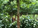 李营法桐14公分1年帽法桐3.5米冠幅6米高度