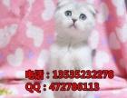 出售蓝英短折耳猫幼猫折耳猫宠物猫活体包健康包养活