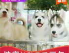 本地出售纯种哈士奇幼犬,十年信誉有保障