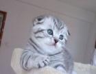 纯种健康苏格兰折耳猫 纯种赛级折耳猫宠物苏格兰折耳折耳猫幼猫