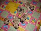 纯血统精品巴哥犬,八哥幼犬签合同包健康终身上门优惠