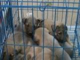 出售马犬狼青拉布拉多犬