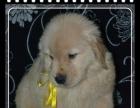 自家大狗繁殖金毛幼犬品质纯正 包健康 疫苗齐全,
