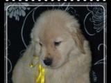 家有一窝纯种大头金毛幼犬转让、品相超好的、包健康