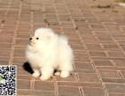 咸阳哪里有博美出售 纯种博美多少钱 咸阳哪里有博美犬出售