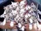 鞍山市内高价收猫