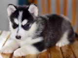 哈士奇幼犬 保证纯种健康 签订活体协议 包退换