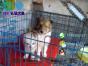 专业繁殖苏格兰牧羊犬养殖基地 可以来犬舍里挑选