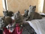 家养蓝猫宝宝找新家,低价