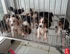 温州哪里有卖比格犬的
