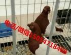 肉鸽养殖场、种鸽价格、鸽笼出售
