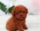 上海本地最低价泰迪幼犬包健康