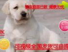 犬舍基地直销包纯种保健顶级繁殖基地出售纯种拉布拉多幼犬 神犬