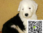 b赛级双纯血统白头通背古牧幼犬销售免疫齐全包