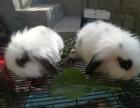 自家熊猫眼垂耳兔