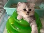 出售自己繁殖金吉拉3只,一只绝育的加菲猫 价优